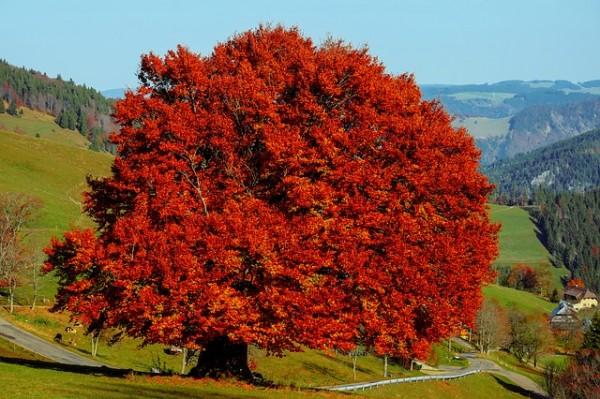 Buche-Rot-Herbst